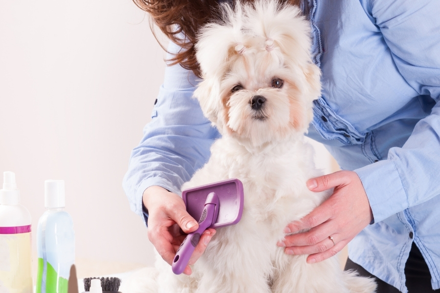 small white dog being groomed